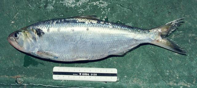 Carcharhinus amblyrhynchos - Wikipedia