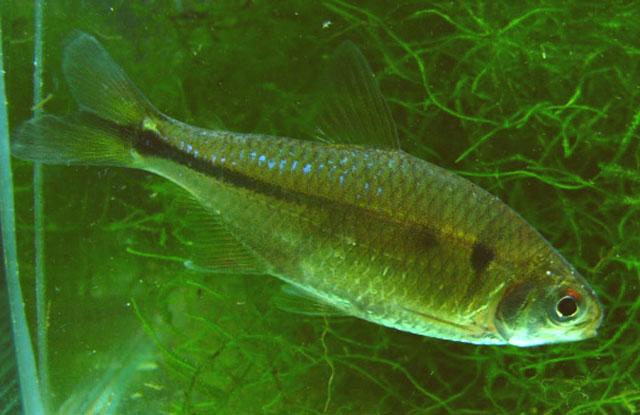 Astyanax jordani : aquarium - fishbase.us