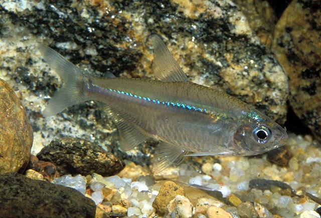 Astyanax (fish) - Wikipedia