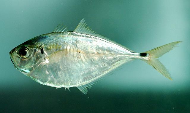 Ogilbia galapagosensis - Galapagos Cuskeel -- Discover Life