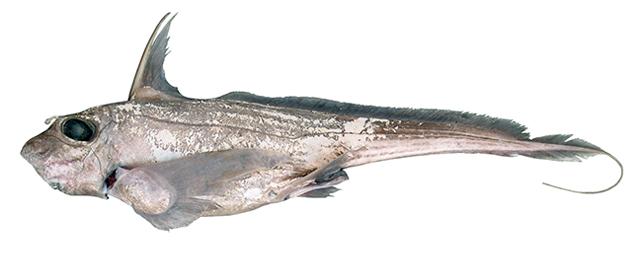 Category:Ophidiiformes - Wikimedia Commons