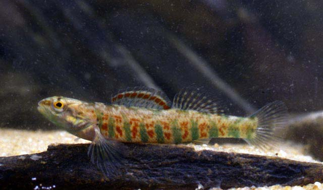 Etheostoma hopkinsi