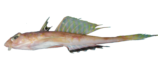 Bythitidae - Wikipedia, entziklopedia askea.