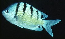 Image of Abudefduf abdominalis (Green damselfish)