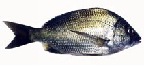 Image of Acanthopagrus butcheri (Black bream)