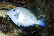 Image of Acanthurus chirurgus (Doctorfish)