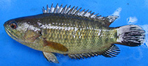 Image of Anabas testudineus (Climbing perch)