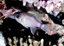 Image of Nectamia annularis (Ringtail cardinalfish)