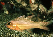 Image of Ostorhinchus chrysotaenia (Yellowlined cardinalfish)