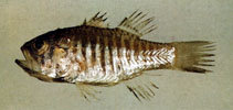 Image of Jaydia striata