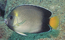 Image of Apolemichthys xanthurus (Yellowtail angelfish)