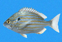 Image of Archosargus pourtalesii (Blackspot porgy)
