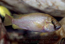 Image of Astatotilapia calliptera (Eastern happy)