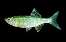 Image of Barilius bernatziki