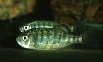 Barilius Fish