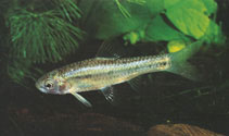 Image of Enteromius lineomaculatus (Line-spotted barb)