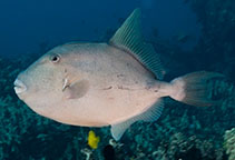 Image of Balistes polylepis (Finescale triggerfish)