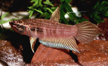 Image of Betta dimidiata