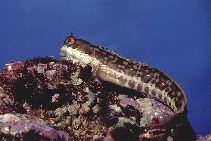 Image of Blenniella periophthalmus (Blue-dashed rockskipper)