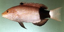 Image of Bodianus macrourus (Black-banded hogfish)
