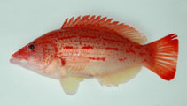 Image of Bodianus rubrisos (Red-sashed hogfish)