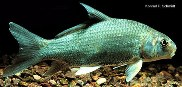 Image of Carpiodes cyprinus (Quillback)