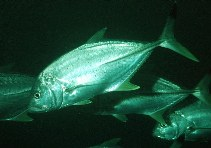 Image of Caranx heberi (Blacktip trevally)