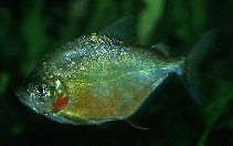 Image of Catoprion mento (Wimple piranha)