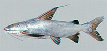 Image of Cephalocassis jatia (River catfish)