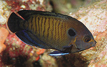 Image of Centropyge multispinis (Dusky angelfish)