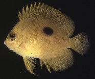 Image of Centropyge narcosis (Narc angelfish)