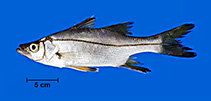 Image of Centropomus pectinatus (Tarpon snook)