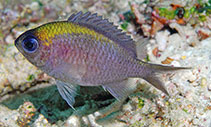 Image of Chromis athena