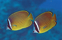 Image of Chaetodon auripes (Oriental butterflyfish)