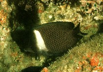 Image of Chaetodon dialeucos (Oman butterflyfish)