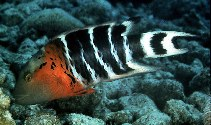 Image of Cheilinus fasciatus (Redbreasted wrasse)