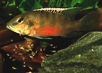 Image of Chromidotilapia guntheri (Guenther\