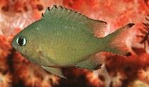 Image of Chromis lepidolepis (Scaly chromis)