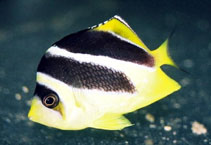 Image of Chaetodon mitratus (Indian butterflyfish)
