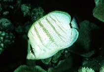Image of Chaetodon multicinctus (Pebbled butterflyfish)