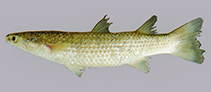 Image of Chelon planiceps (Tade gray mullet)