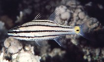 Image of Cheilodipterus quinquelineatus (Five-lined cardinalfish)