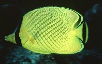Image of Chaetodon rafflesii (Latticed butterflyfish)