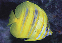 Image of Chaetodon rainfordi (Rainford\