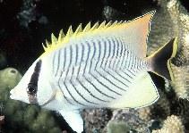 Image of Chaetodon trifascialis (Chevron butterflyfish)