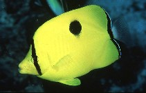 Image of Chaetodon interruptus (Yellow teardrop butterflyfish)