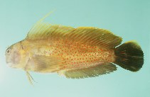 Image of Cirripectes chelomatus (Lady Musgrave blenny)