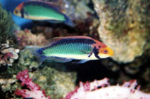 Image of Cirrhilabrus solorensis (Red-eye wrasse)