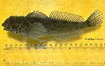 Image of Clinocottus analis (Woolly sculpin)