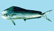 Image of Coryphaena hippurus (Common dolphinfish)
